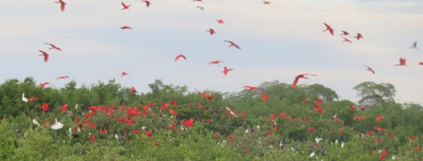Ibis rouges du Delta du Parnaiba